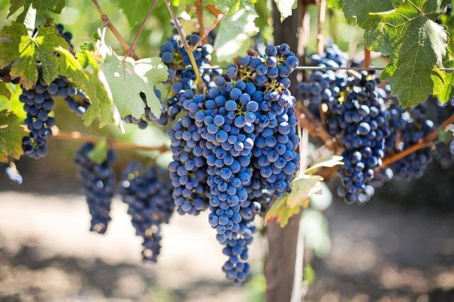 purple grapes 553464 640
